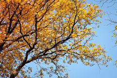 Autumn tree on blue sky background Royalty Free Stock Photography