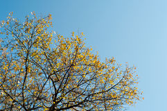 Autumn tree on blue sky background Royalty Free Stock Photos