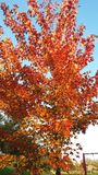 Autumn tree on a blue sky. Beautiful autumn orange tree in the park on a sunny day, Mississauga, Ontario, Canada Royalty Free Stock Photo