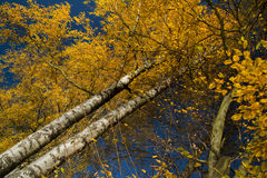 Autumn tree with blue sky. Autumn tree branches with yellow leaves and blue sky Royalty Free Stock Photography