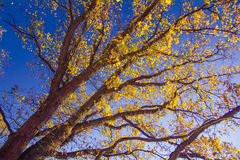 Autumn tree with blue sky. Autumn tree branches with yellow leaves and blue sky Royalty Free Stock Images