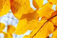 Autumn tree branch Royalty Free Stock Photography
