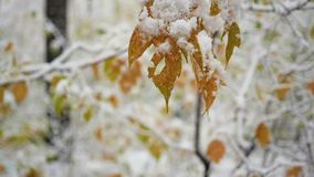 Autumn tree branch covered with snow in the park closeup. Autumn tree branch covered with snow stock video footage