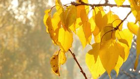Autumn Tree Branch With Yellow Leaves. Closeup of autumn tree brach with yellow color leaves move in wind stock footage