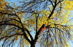 An autumn tree Stock Image