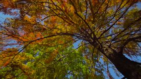 Autumn Tree Branches with Leaves. On a sunny day stock footage