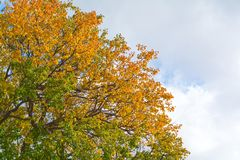 Autumn tree branches with yellow leaves royalty free stock images