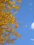 Autumn tree branches with yellow leaves on blue sky Royalty Free Stock Photo