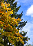 Autumn tree with bright foliage on a blue sky background Stock Photo