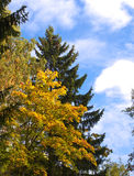 Autumn tree with bright foliage on a blue sky background Royalty Free Stock Photography