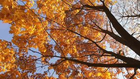 Autumn tree with bright foliage on a blue sky background stock video