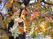 AUTUMN TREE WITH BRIGHTLY COLORED LEAVES Stock Photo
