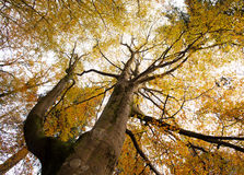 Autumn Tree Canopies Royalty Free Stock Images