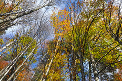 Autumn tree canopy in the forest Royalty Free Stock Photography