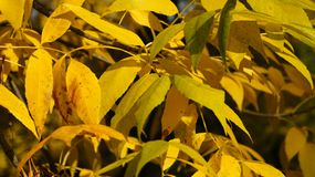 Autumn, fall Tree with colorful leaves royalty free stock photography