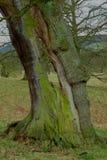 Autumn Tree, Chatsworth-Park, Chatsworth, Derbyshire Lizenzfreie Stockfotografie