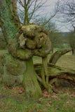 Autumn Tree, Chatsworth-Park, Chatsworth, Derbyshire Lizenzfreies Stockbild
