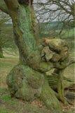 Autumn Tree, Chatsworth Park,Chatsworth, Derbyshire. Stock Photos