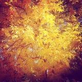 Autumn Tree Closeup giallo Fotografia Stock Libera da Diritti