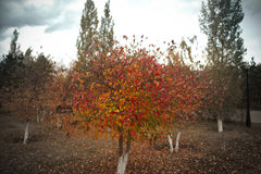 Autumn tree on a cloudy day Royalty Free Stock Photography