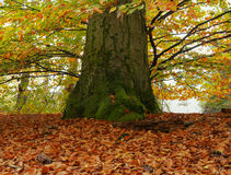 Autumn tree. Colored autumn tree in the forest Stock Photo