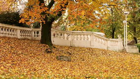 Autumn tree with colorful leaves stock footage
