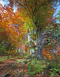 Autumn tree. Colorful autumn tree in a sunny forest Royalty Free Stock Image