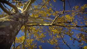Autumn Tree Colors Branches stock video