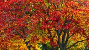 Autumn tree. Royalty Free Stock Photography