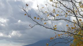 Autumn tree with dry withered leaves. Bare tree with wilted leaves in cloudy autumn day stock video footage