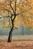 Autumn tree. Stock Images