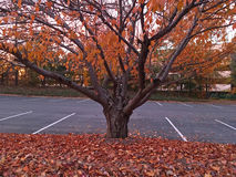Autumn tree on an empty parking lot Royalty Free Stock Photo