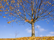 Autumn tree on fallen leaves against blue sky Royalty Free Stock Images