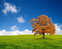 Autumn tree in the field Stock Image