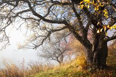Autumn tree and fog Royalty Free Stock Photography