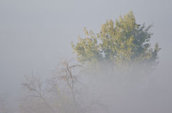 Autumn Tree on a Foggy Silent Morning in the Marsh Royalty Free Stock Images