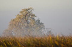 Autumn Tree on a Foggy Silent Morning in the Marsh Royalty Free Stock Photography