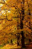 Autumn tree in the forest. Autumn gold tree Royalty Free Stock Image