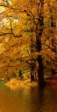 Autumn tree in the forest. Near water Royalty Free Stock Photo