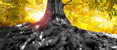 Autumn tree in forest. Autumn tree in colored old forest stock photo