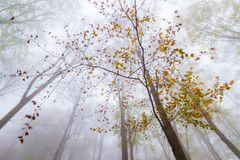 A beech tree growing majestically in a magic forest at Montseny. Autumn tree in the forest at Montseny Natural Park, Spain royalty free stock photo