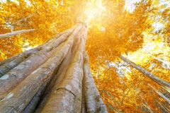 Autumn tree in the forest top view from below Royalty Free Stock Photo