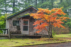 Autumn tree in front on an old cabin Royalty Free Stock Photo