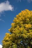 Autumn tree full of yellow leaves 2. Autumn tree full of yellow leaves with blue sky and cloud in the background -vertical picture Stock Photos
