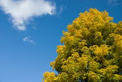 Autumn tree full of yellow leaves. With blue sky and cloud in the background - horizontal picture Royalty Free Stock Photos