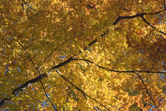 Autumn Tree with Golden Leaves Stock Image