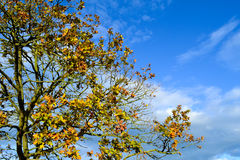 Autumn tree. Golden leaves of autumn tree against blue sky Stock Image