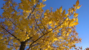 Autumn tree with golden leaves at blue sky. Slow motion rotation stock video