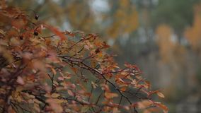 Autumn tree with golden leaves close up.  stock video