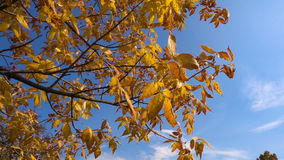 Tree with golden leaves moving against blue sky. Autumn tree with golden leaves moving against blue sky, slow motion stock video